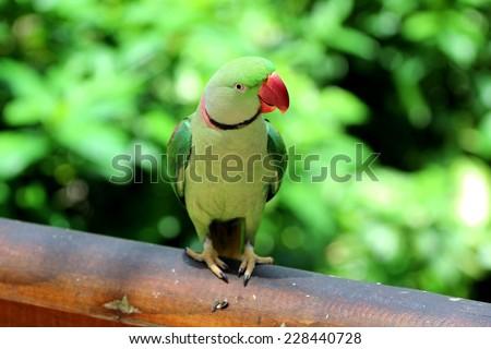 Alexandrine parrot, India - stock photo