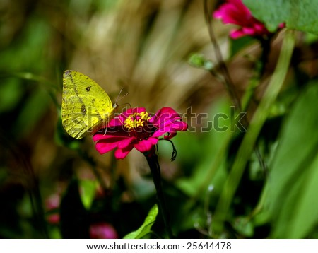 Alfalfa Butterfly, on Zinna flower, Ometepe Island,  Nicaragua November 2008  Colias eurytheme - stock photo