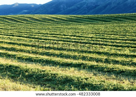Alfalfa hay, cut and windrowed for drying in the fertile farm fields of Idaho.