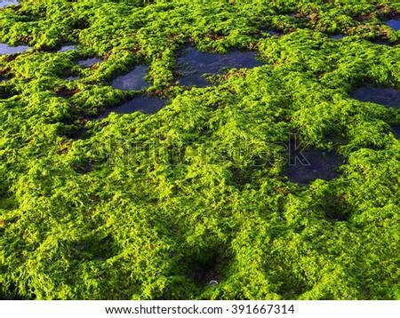 Algae over rocks background             - stock photo