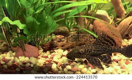 Algae Sucker Cat Fishes Hypostomus Plecostomus and Otocinclus School - stock photo