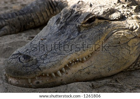 Aligator's face - stock photo