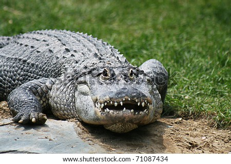 Aligator spying on camera from a grassy area - stock photo