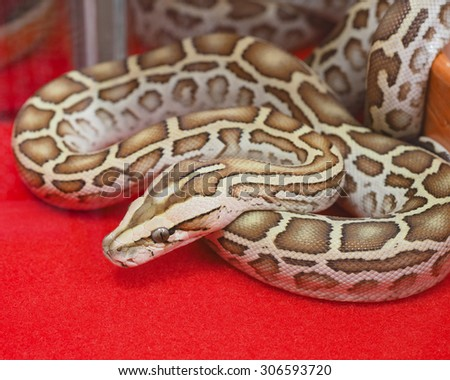alive snake lies on red carpet , indoor  room - stock photo