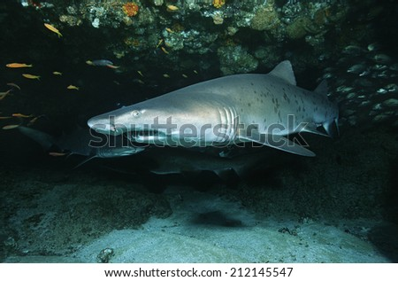 Aliwal Shoal, Indian Ocean, South Africa, Sand tiger shark (Carcharias taurus) in cave
