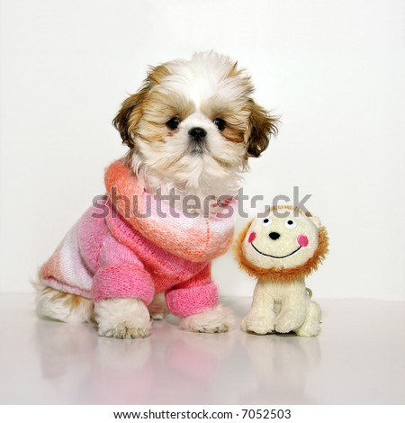 All Dressed Up And Nowhere To Go - A 12 week old Shih Tzu puppy wearing a fashionably chic pink knit sweater, standing next to her stuffed toy on a white background. - stock photo