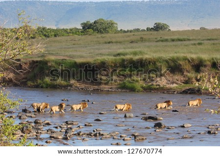 All six male lions of the Paradise Pride on patrol crossing the Mara River, Masai Mara - stock photo