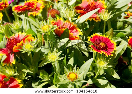 All things bright and beautiful-masses of brightly colored daisies growing together on sunny day. - stock photo