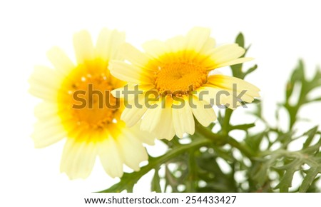 All-yellow Garland chrysanthemum isolated on white background