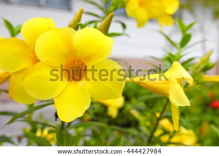 Allamanda cathartica Yellow flower at beautiful. Golden Trumpet,  willow-leaved climber blooming in the garden. ( Close upselect focus front Allamanda cathartica and soft-focus background) - stock photo