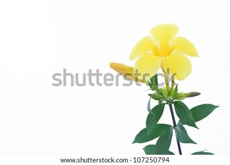 Allamanda or golden trumpet , beautiful yellow flower isolated on white background - stock photo