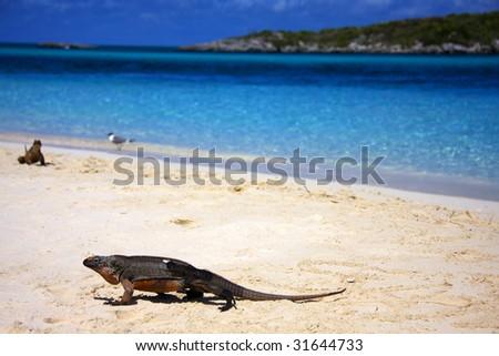 Allan's Cay Iguana - indigenous to Allan's Cay, Bahamas. - stock photo