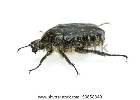 Alleculid beetle (Tropinota (Epicometis) hirta (Scarabaeidae))  isolated on the white background - stock photo