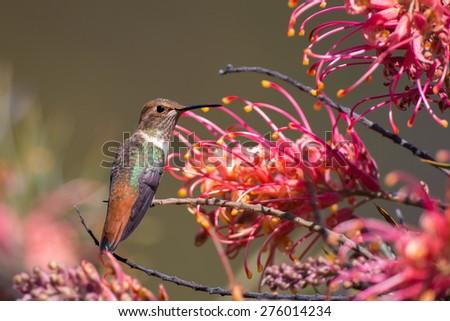 Allen's Hummingbird with Grevillea Flowers - stock photo