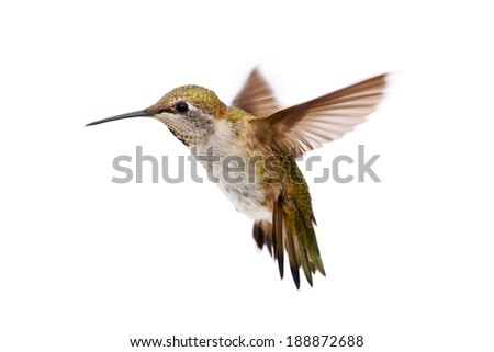 Allens Hummingbird (Selasphorus sasin) in flight with a white background