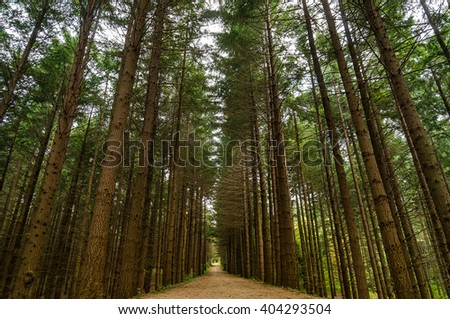 Alley footpath in the pine forest. Tall pine trees forest landscape. Pine trees alley nature photography - stock photo