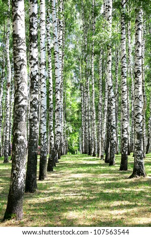 Alley in july birch grove - stock photo
