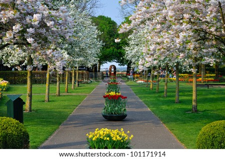 Alley with white blooming trees (Prunus triloba) in Keukenhof park in Holland - stock photo