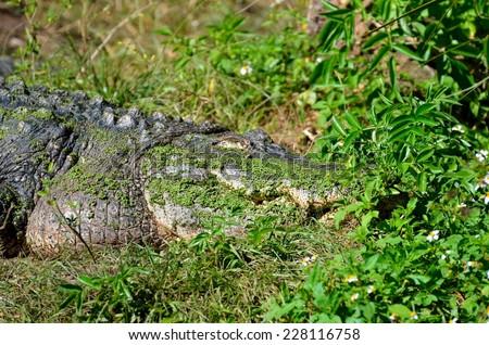 Alligator at wildlife reserve - stock photo