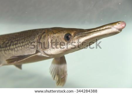 Alligator gar/ Alligator Fish (Atractosteus spatula) in swimming in aquarium  are ray-finned euryhaline fishes.North American freshwater fish of the family Lepisosteidae - stock photo