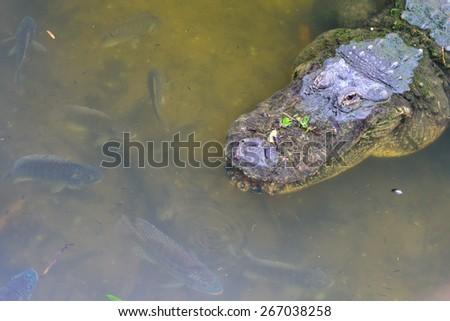 Alligator head shot in river - stock photo