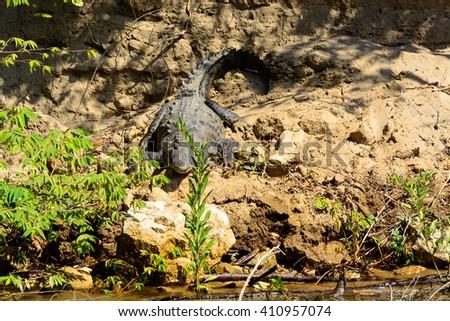 Alligator in Canyon del Sumidero - stock photo