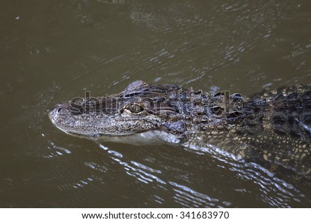 Alligator in murky water swimming - stock photo