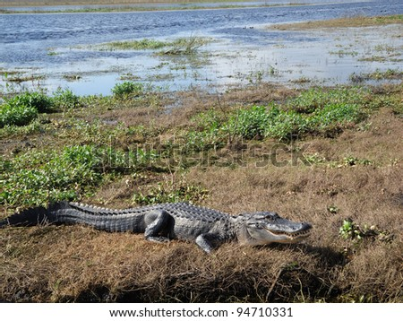 Alligator in the St. Johns River Florida