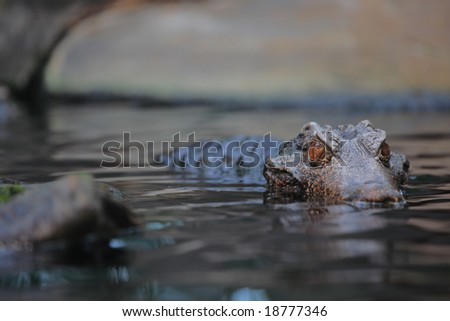 Alligator in the wilderness - stock photo