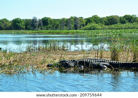 Alligator in water in nature - stock photo
