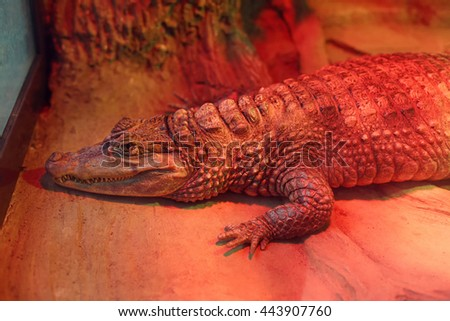 Alligator in zoo indoors, resting under infrared heating lamp. Lying crocodile in cage, wild animal. Reptile in aviary - stock photo