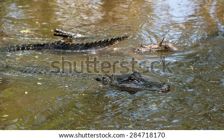 Alligator resting in the cold swamp waters in Lousiana swamps - stock photo