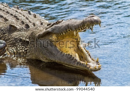 Alligator shows teeth with mouth open