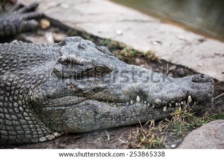 Alligator, side view of head showing teeth  - stock photo