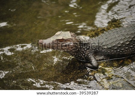 alligator sitting in water of river - stock photo
