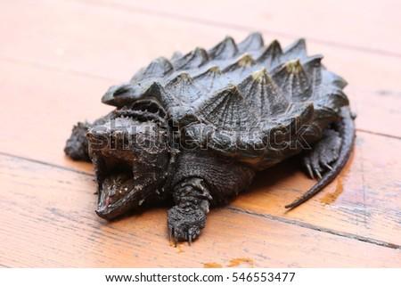 scary alligator stock images royalty free images vectors shutterstock. Black Bedroom Furniture Sets. Home Design Ideas
