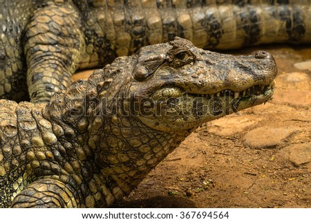 Alligator sunbathing at the riverside in the brazilian jungle - stock photo