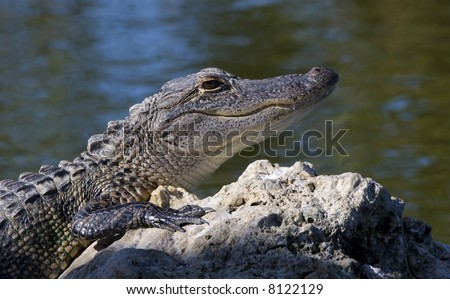 Alligator sunning on a rock in Southern Florida.