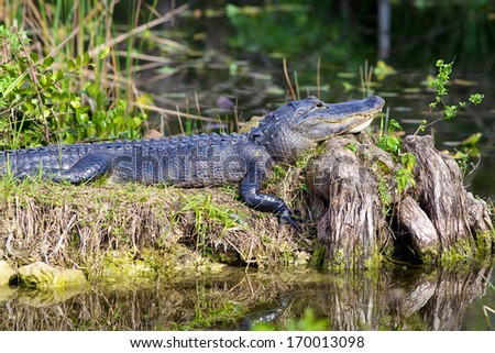 Alligator sunning on an old stump in the Florida Everglades