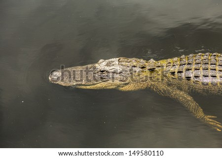 alligator swimming in florida wetland pond on partly cloudy day