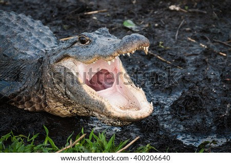 Alligator with jaws open wide at Everglades National Park - stock photo
