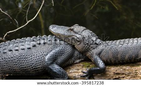 Alligators (Alligator mississippiensis) Resting, Big Cypress National Preserve, Florida - stock photo