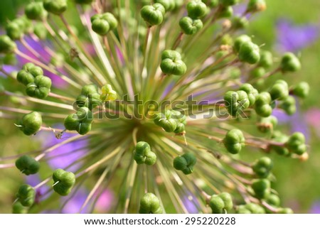 Allium Drumstick Macro (a look into the center of the budding flower blossom) - stock photo