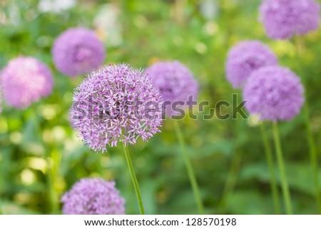 Allium flower (wild leek) in the spring garden - stock photo