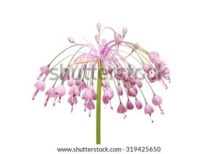 Allium Pulchellum flowerhead isolated against white - stock photo
