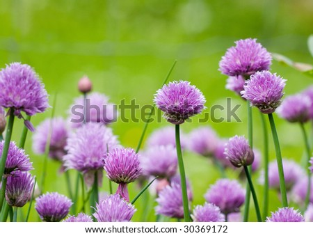 Allium schoenoprasum , chives or also known as green onion