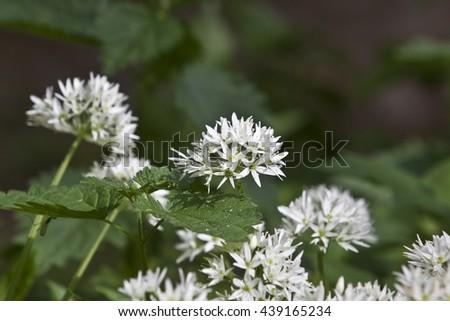 Allium ursinum - stock photo