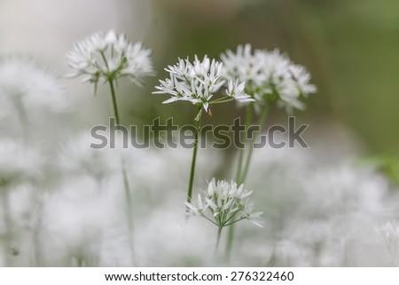 Allium ursinum , wild garlic, broad-leaved garlic, wood garlic, bear leek ,  bear's garlic in detail in detail - stock photo