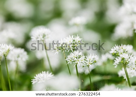 Allium ursinum , wild garlic, broad-leaved garlic, wood garlic, bear leek ,  meadow full of bear's garlic,  - stock photo