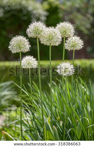 Alliums, giant ornamental onions in full bloom.